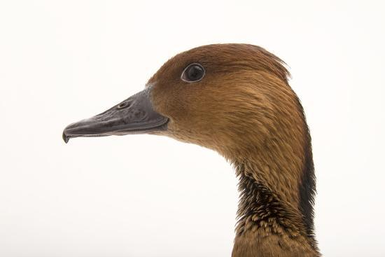 A Fulvous Whistling Duck, Dendrocygna Bicolor, at the Living Desert in Palm Desert, California-Joel Sartore-Photographic Print