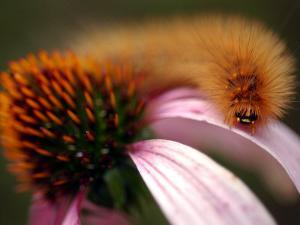 A Fuzzy Caterpillar Inches Along the Top of a Purple Coneflower