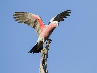 A Galah (Eolophus Roseicapilla) Landing in Southwest Australia.-Neil Losin-Photographic Print