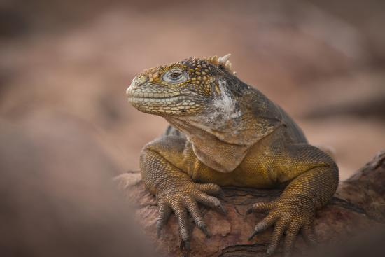 A Galapagos Land Iguana Next to a Prickly Pear Cactus on North Seymour Island-Jeff Mauritzen-Photographic Print