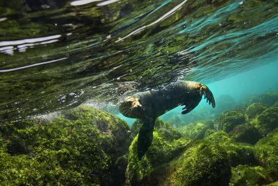 A Galapagos Sea Lion Frolics Just Beneath the Ocean Surface-Cory Richards-Photographic Print