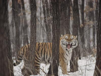 A Gaping Grimace Allows a Siberian Tiger to Take in Scents-Marc Moritsch-Photographic Print