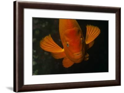 A Garibaldi Fish-Cesare Naldi-Framed Photographic Print