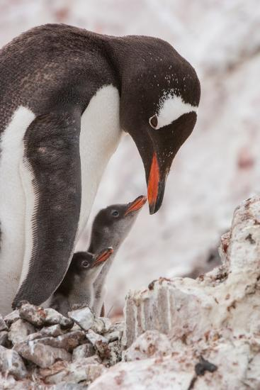 A Gentoo Penguin and Two Chicks-Tom Murphy-Photographic Print
