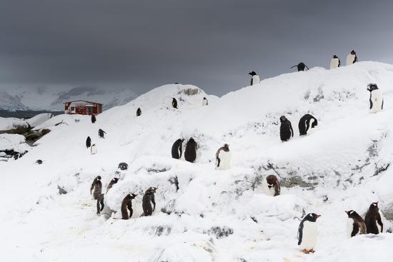 A Gentoo penguin colony (Pygoscelis papua) near Groussac Argentinian hut, Petermann Island, Antarct-Sergio Pitamitz-Photographic Print