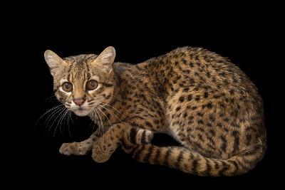 A Geoffroy's Cat, Leopardus Geoffroyi, at the Cincinnati Zoo-Joel Sartore-Photographic Print