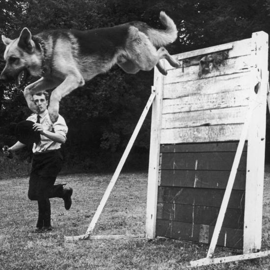 A German Shepherd Police Dog Jumping a Hurdle During a Training Session--Photographic Print