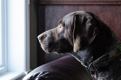 A German Short Haired Pointer Hunting Dog Looking outside through a Window in Rich Brown Tones-Lost Mountain Studio-Photographic Print