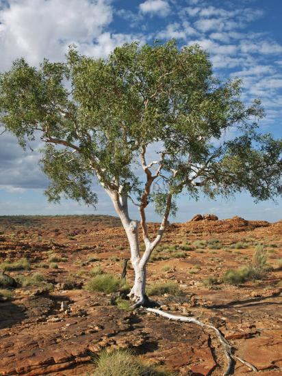A Ghost Gum with an Exposed Root Thrives in Rocky Terrain at Kings Canyon, Australia-Nigel Pavitt-Photographic Print