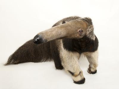 https://imgc.artprintimages.com/img/print/a-giant-anteater-myrmecophaga-tridactyla_u-l-pncozp0.jpg?p=0
