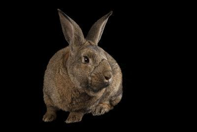 A Giant Flemish Rabbit, Oryctolagus Cuniculus, at the Fort Worth Zoo.-Joel Sartore-Photographic Print