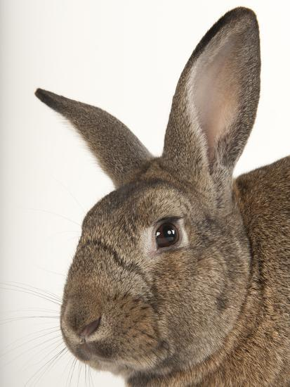 A Giant Flemish Rabbit, Oryctolagus Cuniculus Flemish, at the Fort Worth Zoo-Joel Sartore-Photographic Print
