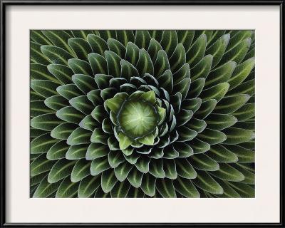 A Giant Lobelia Plant, Lobelia Telekii-George F^ Mobley-Framed Photographic Print