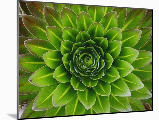 A Giant Lobelia Plant-George F. Mobley-Mounted Photographic Print