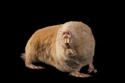 A Giant Mole Rat, Cryptomys Mechowi, at the Houston Zoo-Joel Sartore-Photographic Print