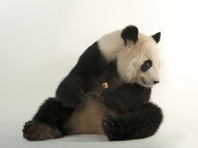 A Giant Panda, Ailuropoda Melanoleuca, at Zoo Atlanta-Joel Sartore-Photographic Print
