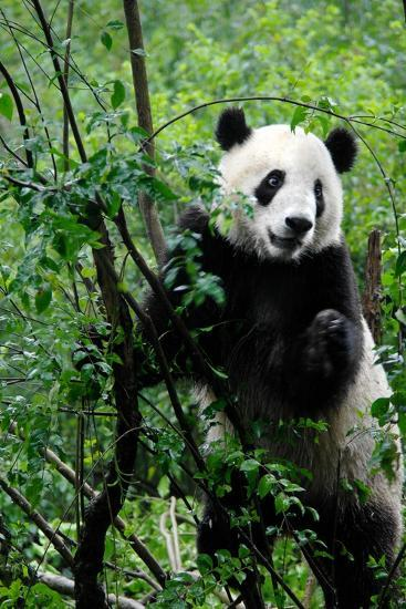A Giant Panda, Ailuropoda Melanoleuca, Standing in Lush Foliage-Tyrone Turner-Photographic Print
