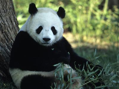 A Giant Panda Eating Bamboo, National Zoo, Washington D.C.-Taylor S^ Kennedy-Photographic Print