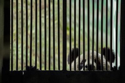 A Giant Panda Peers Through the Bars of its Enclosure-Ami Vitale-Photographic Print