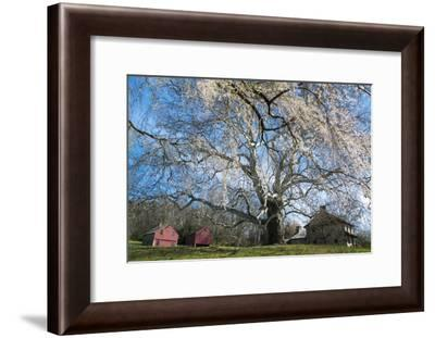 A Giant Sycamore Tree at the Brandywine Battlefield Historic Site-Michael Melford-Framed Photographic Print