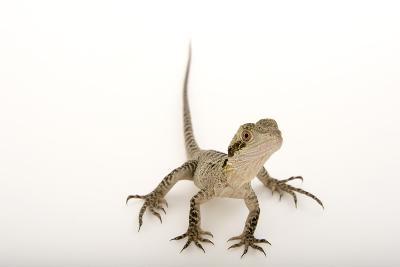 A Gippsland Water Dragon, Physignathus Lesueurii, at the Wild Life Sydney Zoo-Joel Sartore-Photographic Print