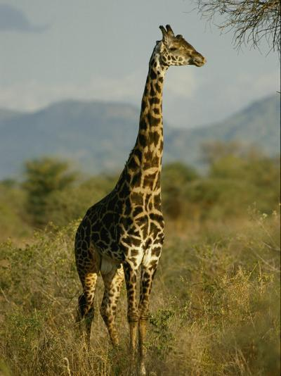 A Giraffe in the Wild-Michael Fay-Photographic Print