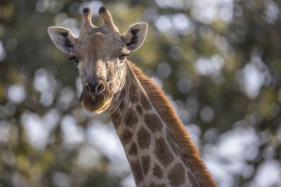 https://imgc.artprintimages.com/img/print/a-giraffe-on-chief-s-island-in-botswana-s-okavango-delta_u-l-q1bv2230.jpg?p=0