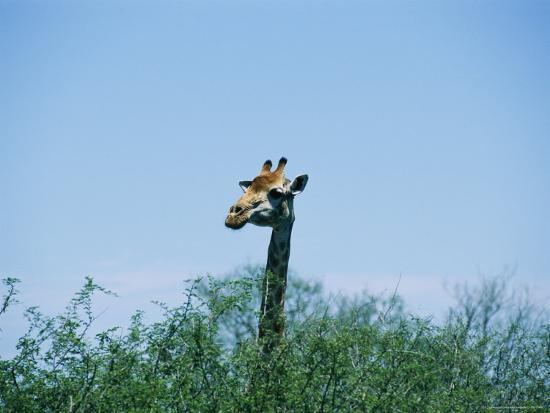 A Giraffe Stands Above the Surrounding Vegetation-Nicole Duplaix-Photographic Print