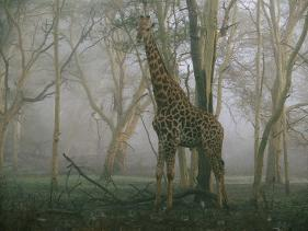 A Giraffe Stands In The Early Morning Mist Photographic