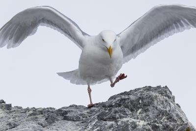 A Glaucous Gull, Larus Hyperboreus, on a Rock Near its Nest-Kent Kobersteen-Photographic Print
