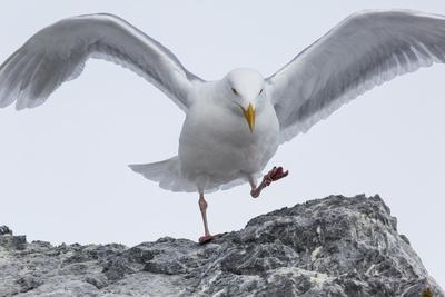 https://imgc.artprintimages.com/img/print/a-glaucous-gull-larus-hyperboreus-on-a-rock-near-its-nest_u-l-pyyarz0.jpg?p=0