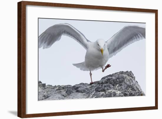 A Glaucous Gull, Larus Hyperboreus, on a Rock Near its Nest-Kent Kobersteen-Framed Photographic Print