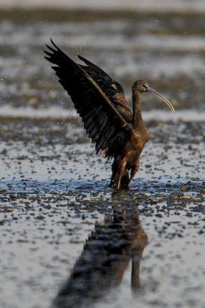 https://imgc.artprintimages.com/img/print/a-glossy-ibis-plegadis-falcinellus-with-spread-wings_u-l-q12wvuc0.jpg?p=0