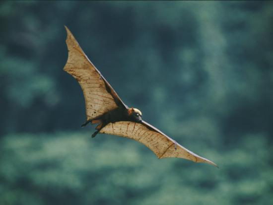 A Golden-Crowned Flying Fox in Flight-Tim Laman-Photographic Print