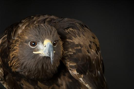 A Golden Eagle, Aquila Chrysaetos.-Joel Sartore-Photographic Print