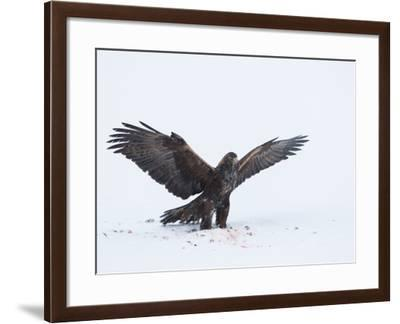 A Golden Eagle Stretches its Wings as it Finishes Up a Meal in a Snowy Landscape-Tom Murphy-Framed Photographic Print