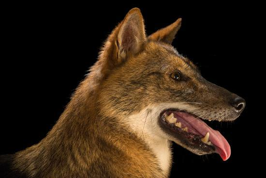 A Golden Jackal, Canis Aureus, at the Assam State Zoo.-Joel Sartore-Photographic Print