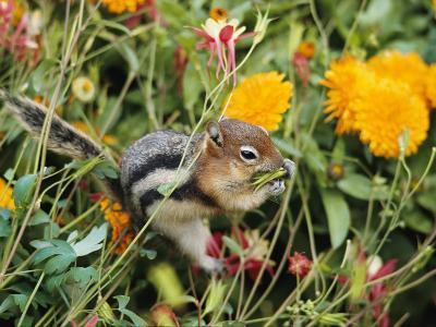 A Golden-Mantled Ground Squirrel Nibbles a Meal Amidst Wildflowers-George F^ Mobley-Photographic Print