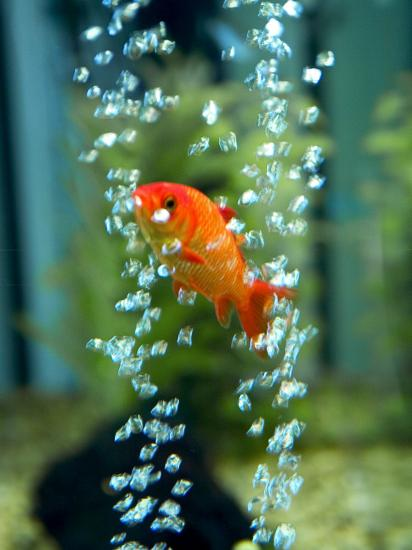 A Goldfish and Air Bubbles--Photographic Print