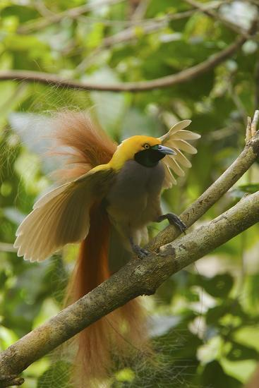 A Goldie's Bird of Paradise Adult Male Performing His Courtship Display.-Tim Laman-Photographic Print