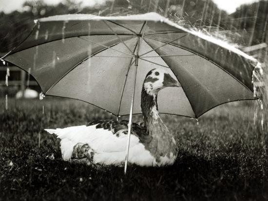 A Goose Takes Cover from the Heavy Rainfall Underneath an Umbrella, Dorset, October 1968--Photographic Print