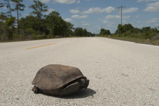 A Gopher Tortoise Near Kissimmee Prairie Preserve State Park-Joel Sartore-Photographic Print