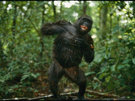 A Gorilla Beats its Chest to Achieve Recognition Within its Group--Photographic Print