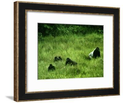 A gorilla family wander in the Mbeli Bai clearing in tall grasses-Michael Nichols-Framed Photographic Print