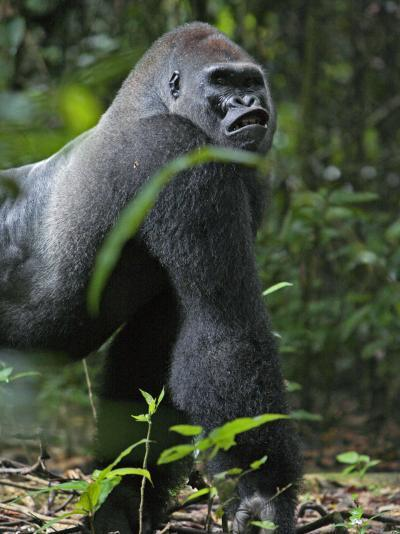 A gorilla knuckle-walks on arms as thick as tree limbs-Ian Nichols-Photographic Print