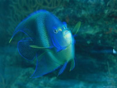 A Graceful Angelfish Swims in the Tropical Waters of Fiji-Tim Laman-Photographic Print