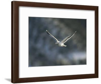 A Graceful Gull in Flight-Klaus Nigge-Framed Photographic Print
