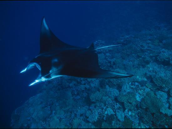 A Graceful Manta Ray Swimming over the Great Astrolabe Reef-Tim Laman-Photographic Print