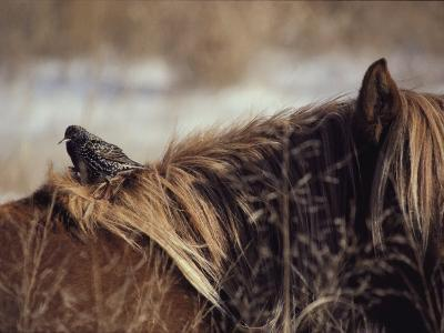 A Grackle Perches in the Mane of a Wild Chincoteague Pony-Medford Taylor-Photographic Print