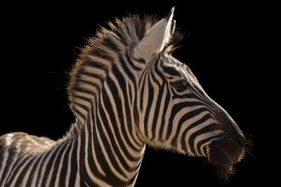 A Grant's Zebra, Equus Quagga Boehmi, at the Houston Zoo-Joel Sartore-Photographic Print